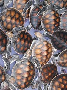 Schildkröten in Khao Lak