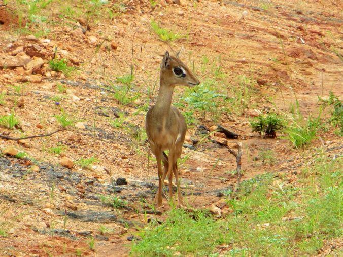 Ein kleines Digdig - die Hasen Afrikas