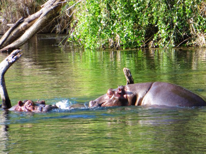 Hippos in Mzima Springs