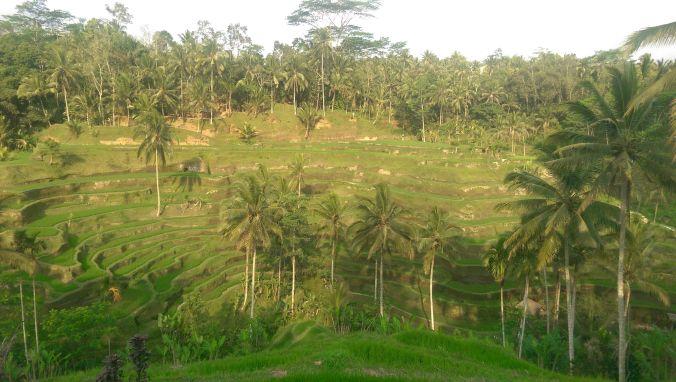 Reisterassen von Tegalalang