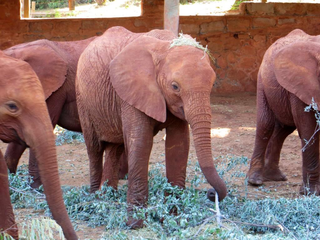 Waisen-Elefanten in Kenia