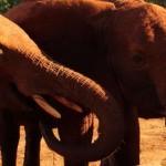 Wie du einen Elefanten adoptierst und ihn in Kenia besuchen kannst