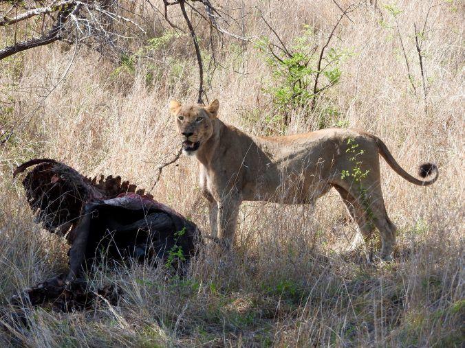 Löwin mit Büffelresten