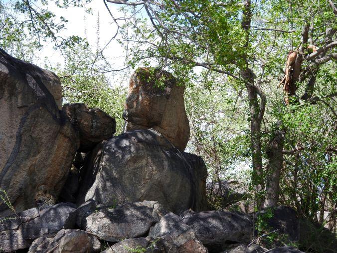 Leopard auf Felsen mit Impala im Baum