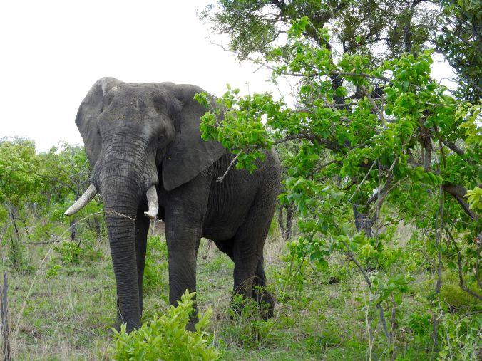 Elefant im Busch