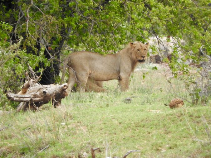 junger Löwe mit Mähne