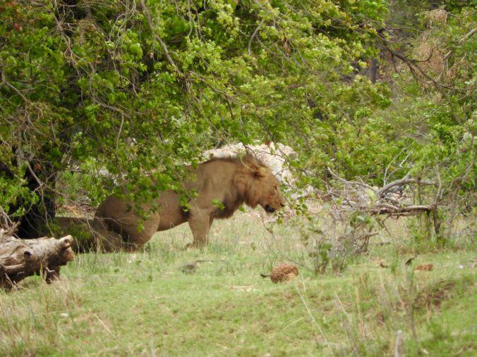 Löwen hauen ab