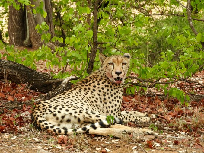 Gepard außer Atem