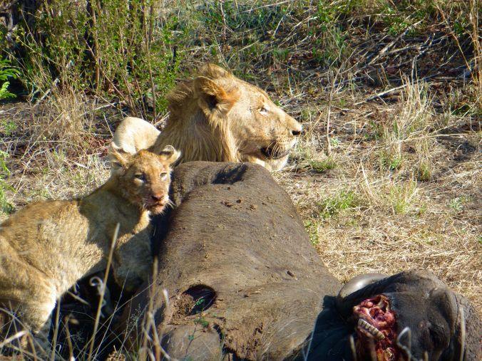 Löwenrudel mit Büffel