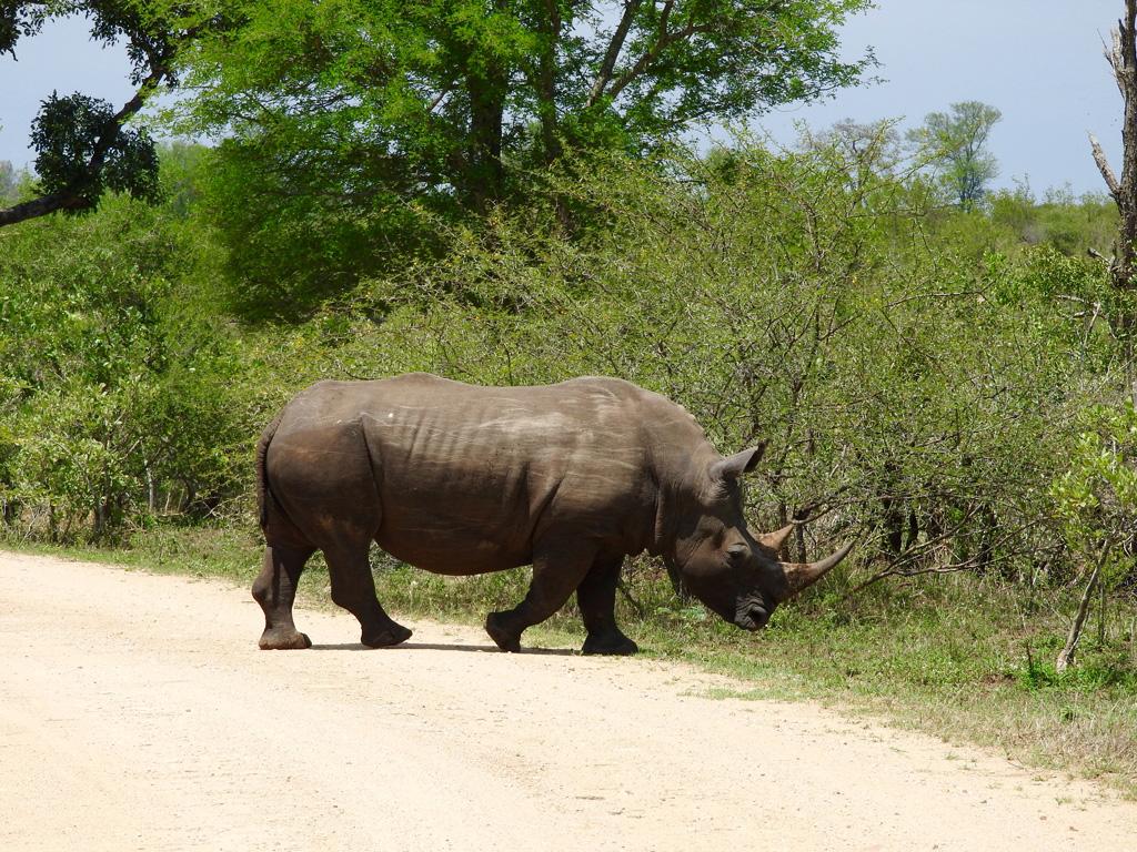 Nashorn läuft über den Weg
