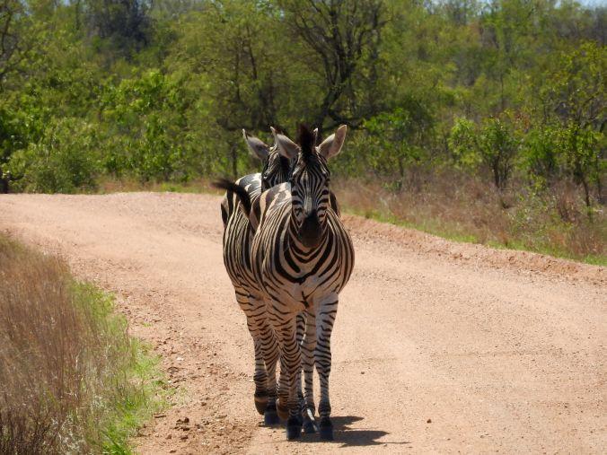 Zebras auf der Straße