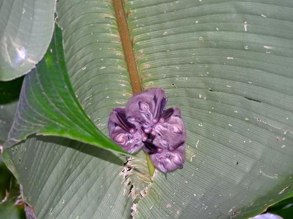 Fledermäuse unter einem Bananenblatt