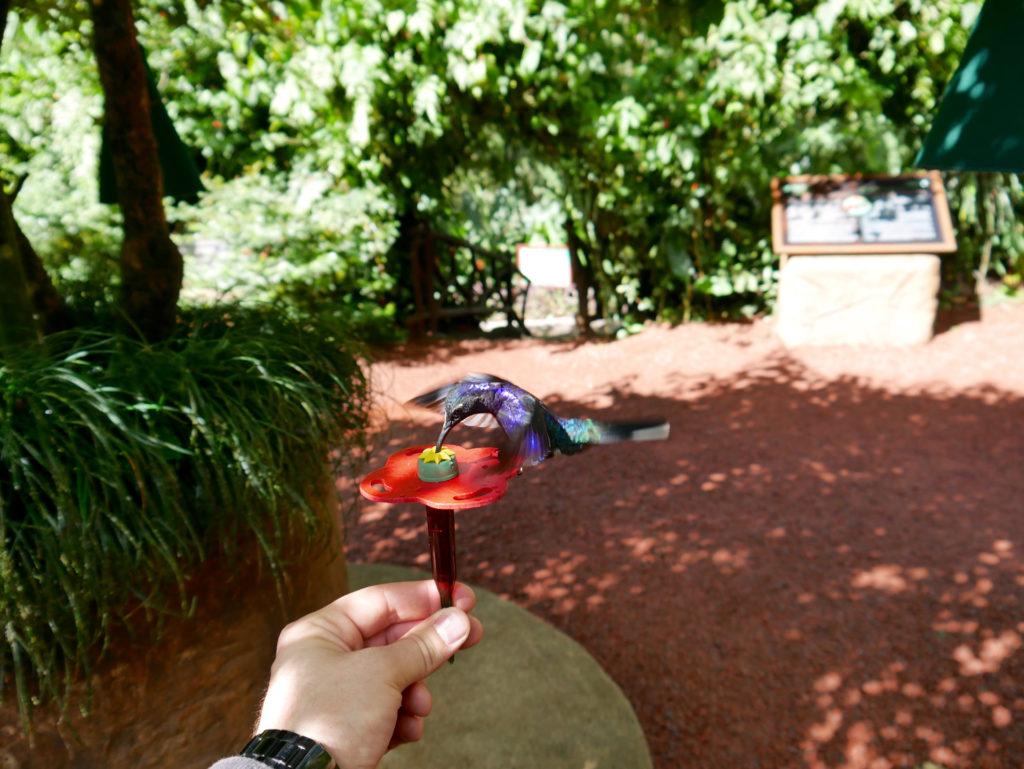 Kolibri bei der Fütterung