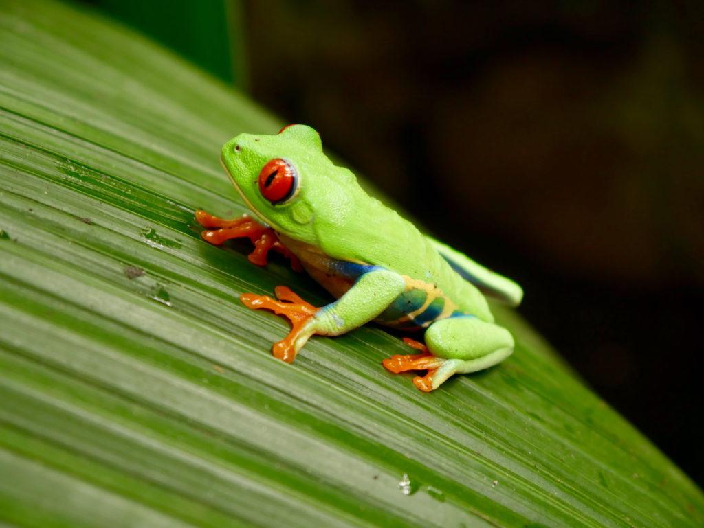 Aufgewachter Rotaugen-Frosch