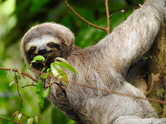 Ein tierisches Faultier in Costa Rica