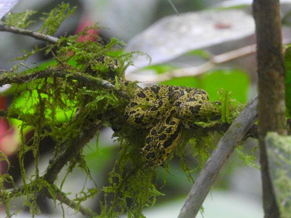 Eine Pflanzenviper - sehr giftig