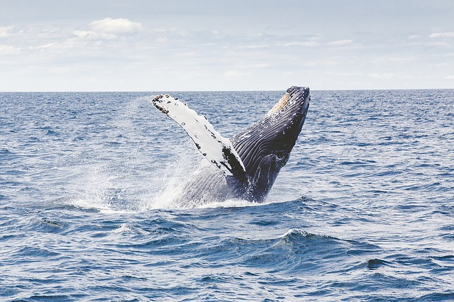 Wale vor den Kapverden