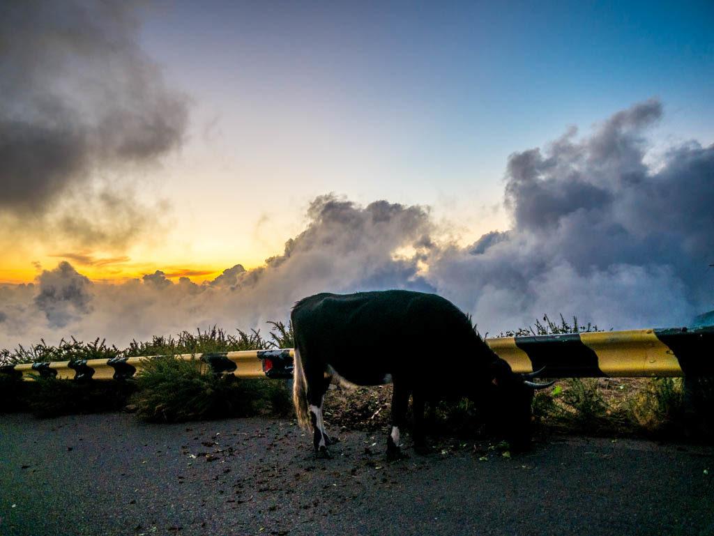 Madeira Urlaub: Bekanntschaft mit Kühen